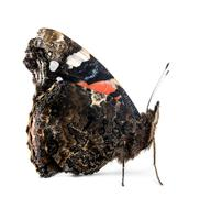 Side view of a Red Admiral butterfly, Vanessa atalanta, against white background - stock photo