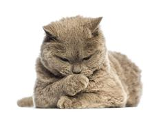Selkirk Rex lying and looking at its paw against white background - stock photo