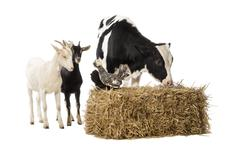 Group of farm animals standing next and on a straw bale, isolated on white - stock photo