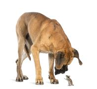 Great Dane looking at a mouse standing up, isolated on white Stock Photos
