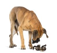 Great Dane looking at a kitten lying on its back and attacking, isolated on whit - stock photo