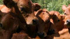 Tarines heifers close up Stock Footage
