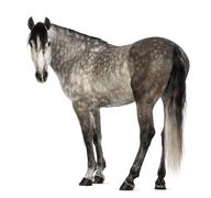 Andalusian, 7 years old, looking at camera, also known as the Pure Spanish Horse Stock Photos