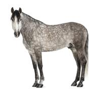 Andalusian, 7 years old, looking at camera, also known as the Pure Spanish Horse - stock photo