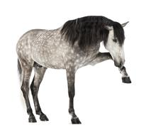 Andalusian raising front leg, 7 years old, also known as the Pure Spanish Horse  - stock photo