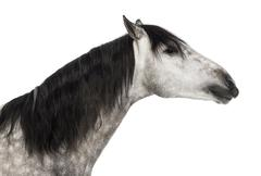 Close-up of an Andalusian head, 7 years old, outstretched, also known as the Pur Stock Photos