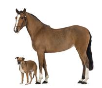 Crossbreed dog standing next to a Female Andalusian, 3 years old, also known as  Stock Photos