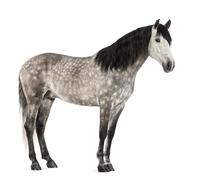 Andalusian, 7 years old, also known as the Pure Spanish Horse or PRE against whi Stock Photos