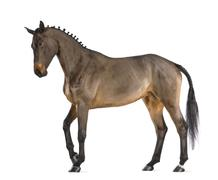 Female Belgian Warmblood, BWP, 4 years old, with mane braided with buttons again - stock photo