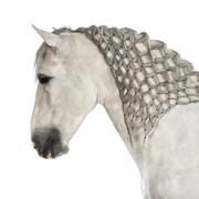 Close-up of a Male Andalusian with plaited mane, 7 years old, also known as the  Stock Photos