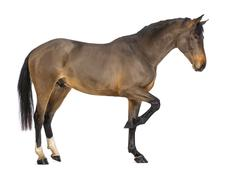 Side view of a Male Belgian Warmblood, BWP, 3 years old, against white backgroun Stock Photos