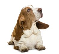 Basset Hound lying, isolated on white Stock Photos