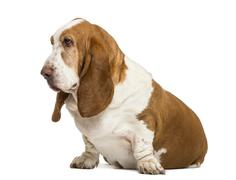 Basset Hound sitting and looking left , isolated on white Stock Photos