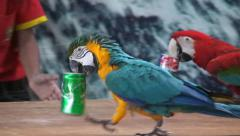 Stock Video Footage of Funny competition of trained parrots, who quickly transfer banks