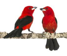 two Brazilian Tanager perched on a branch - Ramphocelus bresilius - isolated on  - stock photo