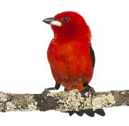 Brazilian Tanager perched on a branch - Ramphocelus bresilius - isolated on whit - stock photo