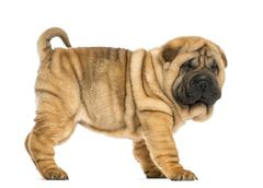Side view of Shar pei puppy (11 weeks old) isolated on white - stock photo