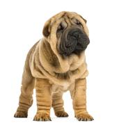 Front view of Shar pei puppy looking away (11 weeks old) isolated on white - stock photo