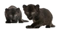 Two Black Leopard cubs, 3 weeks old, prowling and gazing, isolated on white - stock photo