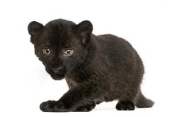 Black Leopard cub, 3 weeks old, staring and prowling, isolated on white - stock photo