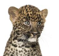 Close-up of a Spotted Leopard cub - Panthera pardus, 7 weeks old, isolated on wh Stock Photos