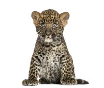 Spotted Leopard cub sitting - Panthera pardus, 7 weeks old, isolated on white Stock Photos