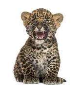 Spotted Leopard cub sitting and roaring- Panthera pardus, 7 weeks old, isolated  Stock Photos