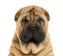 Close-up on facing  Sharpei puppy head (11 weaks old) Stock Photos