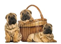 Three Sharpei puppies , sitting, lying and put in a wicker basket, isolated on w Stock Photos