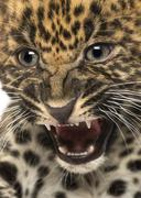 Spotted Leopard cub - Panthera pardus, 7 weeks old - stock photo