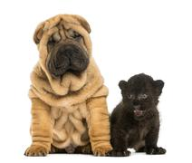 Shar pei puppy and Black Leopard cub sitting next to each other,  isolated on wh - stock photo