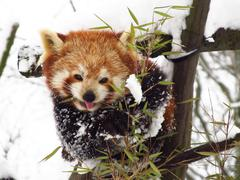 Red panda in winter Stock Photos