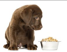 Labrador Retriever Puppy sitting with his full dog bowl, isolated on white Stock Photos