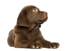 Stock Photo of Labrador Retriever Puppy lying and looking up, 2 months old, isolated on white