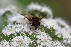 Macro photo of a european hoverfly (Eristalis tenax) - stock photo