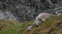 Arctic Fox Puppy Falls off Perch and Repositions Stock Footage