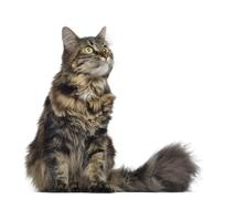 Maine coon cat, sitting and looking up, isolated on white Stock Photos