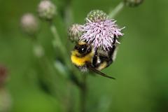 Macro photo of a Garden Bumblebee (Bombus hortorum) Stock Photos