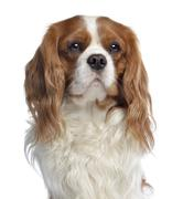 Close-up of a Cavalier King Charles, 2 years old, isolated on white Stock Photos