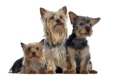 Group of Yorkshire Terrier, 3 and 2 years old and 3 months old, isolated on whit - stock photo