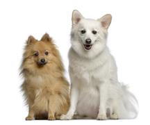 Two Spitz, 1 and 3 years old, sitting next to each other, isolated on white - stock photo
