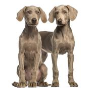 Two Weimaraner puppies, 2,5 months old, sitting and standing, isolated on white Stock Photos