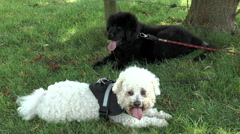 Two dogs panting - stock footage