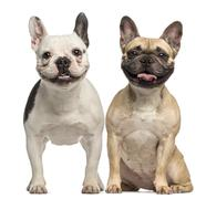 Two French Bulldogs, 3 years old, sitting and panting, isolated on white Stock Photos