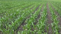 Corn crops in field - stock footage