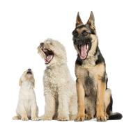 Group of dogs yawning, isolated on white - stock photo