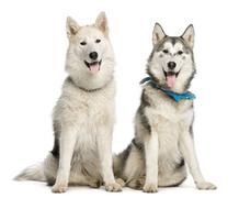 Two Alaskan Malamut, sitting and panting, isolated on white Stock Photos