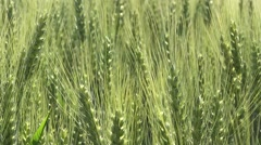 Green wheat field Stock Footage