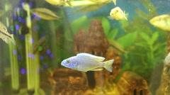 Malawi cichlids. Fish of the genus Cynotilapia - stock footage