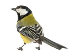 Rear view of a male great tit looking up, Parus major, isolated on white - stock photo